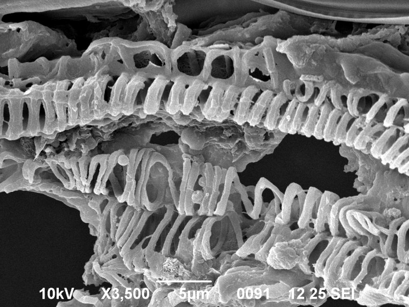 Cotton Wood Xylem Skeleton